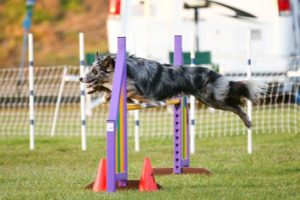 Zanee Agility leaping dog