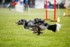 Zanee Agility running dog
